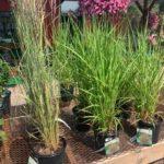 A+ Garden Center grasses for sale