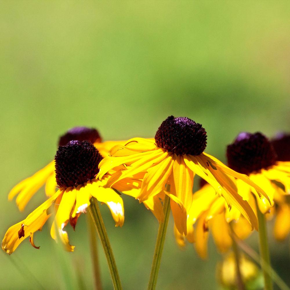 black-eyed-susan-flowers_GJhaUUdu